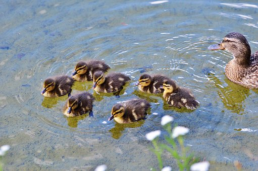 Chicks, Ducklings, Duck, Water Bird, Animal Children