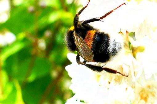 Acker Hummel, Bee, Flower, Blossom, Bloom, Brown