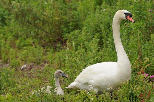 Swan, Parent Child, Bird