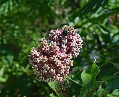 Milkweed With Bee, Milkweed, Flower, Blossom, Bloom