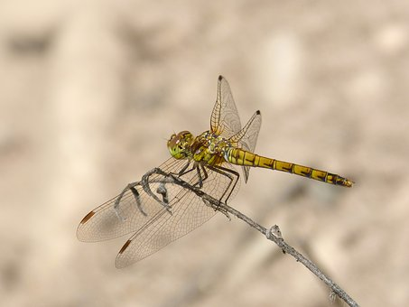 Dragonfly, Yellow Dragonfly, Branch