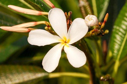 Flower, Frangipani Flower, Plumeria Flower