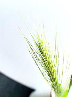 Barley, Grass, Dune, Grasses, North Sea, Dune Grass