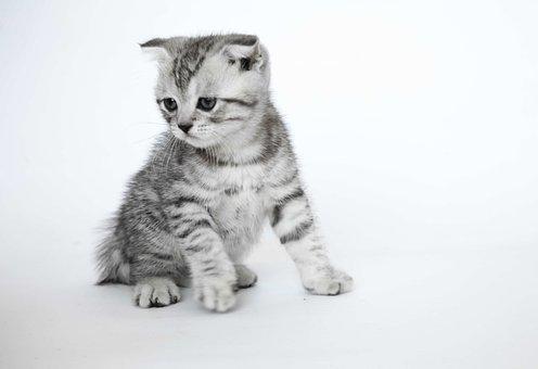 Folded Ears, Kittens, Short-haired Cats