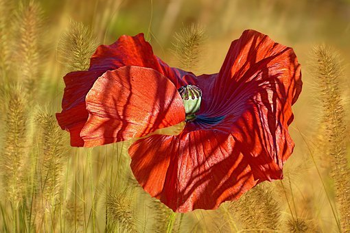 Plant, Flower, Poppy, Klatschmohn, Poppy Flower