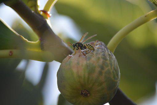 Wasp, Insect, Fig, Nature, Leaf, It Wasp Swarm, Macro