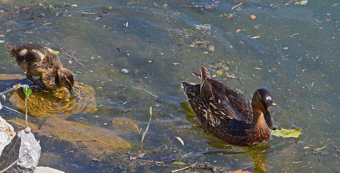 Duck And Duckling, Mallard Duck, Duckling, Young
