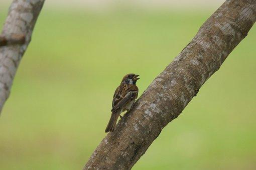 Sparrow, Curlew, Passer, Montanus