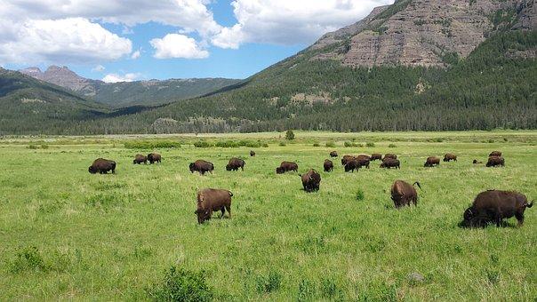 Bison, Yellowstone, Mountains