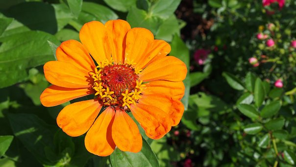 Zinnia, Flower, Garden, The Plot, Nature