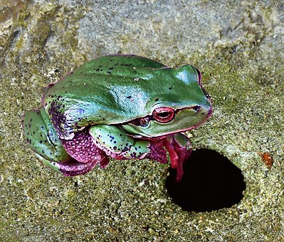 Tree Frog, Green, Nature