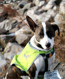 Dog, Vest, Outside, Animal, Pet, Canine, Cute, Friend