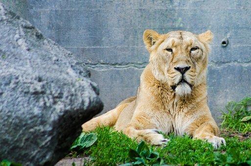 Lioness, Lion, Animal, Africa, Cat, Predator, Carnivore