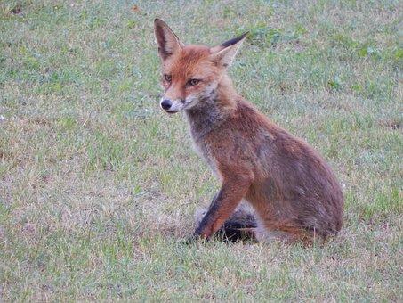 Fuchs, Forest Animals, Predator, Reddish Fur, Cute, Fur