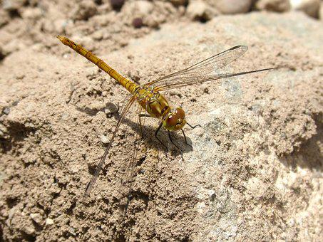 Dragonfly, Yellow Dragonfly, Rock