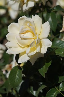 Rose, Queen Of Roses, Rosaceae, Yellow, Bright Yellow
