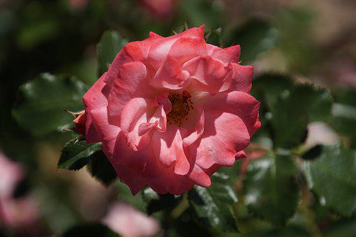 Rose, The Land Of Fairy Tales, Rosaceae, Red, Pink