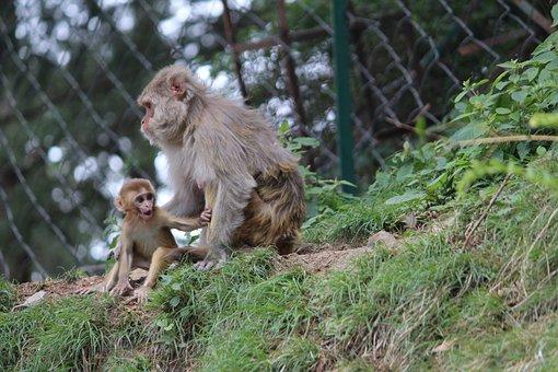 Baby Monkey, Mother Monkey, Shimla, Rhesus Macaques