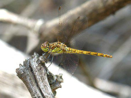 Dragonfly, Yellow Dragonfly, Trunk