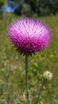 Wild Flower, Thistle, Flower, Nature, Plant, Purple