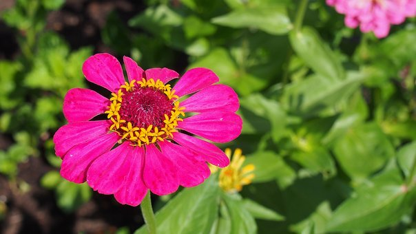Flower, Zinnia, Garden, The Plot, Nature