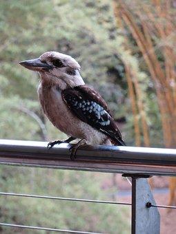 Birds, Kookaburra, Australia, Austalian-bird