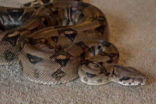 Boa, Snake, Pet, Reptile, Constrictor