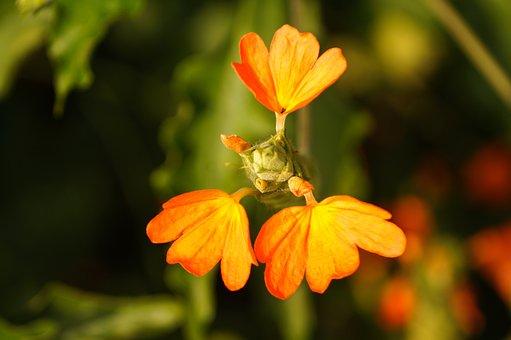 Crossandra Infundibuliformis, Firecracker Flower