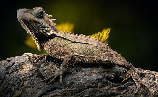 Lizard, Dandelion, Reptile, Forest Dragon, Endangered