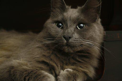 Cat, Grey, Kitten, Cute, Pet, Animal, Domestic, Feline