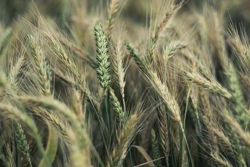 Corn, Ears, Wheat, Rye, Agriculture, The Cultivation Of