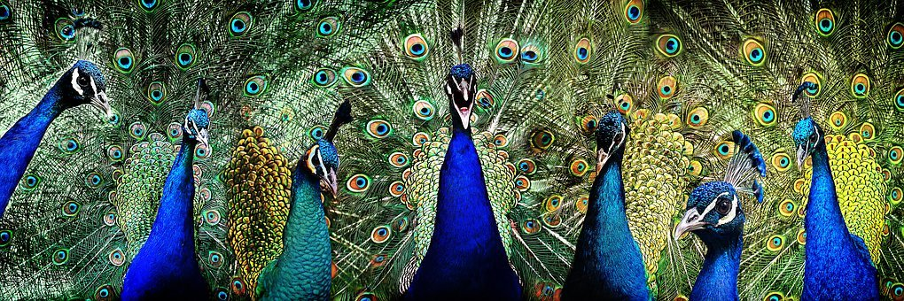 Peacock, Pride, Bird, Feather, Famous, Vanity, Plumage