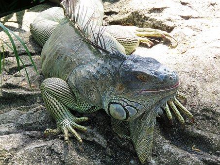 Chameleon, Giant, Animal
