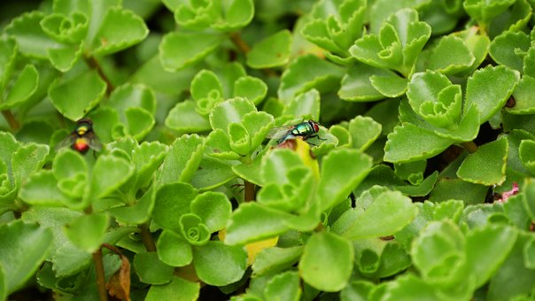 Plant, Ground Cover, Fly, Insect, Garden, Periwinkle