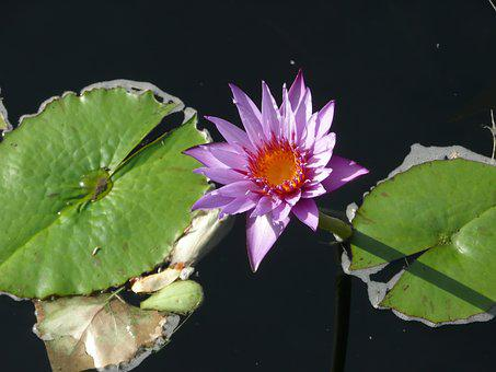 Flower, Leaves, Lily Pad, Water, Leaf, Floral, Nature