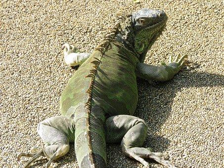 Chameleon, Giant, Big, Lizard