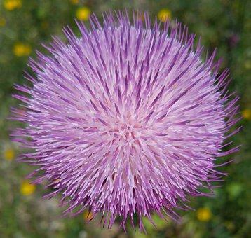Ball, Purple, Thistle, Photo, Profile, Nature, Flower