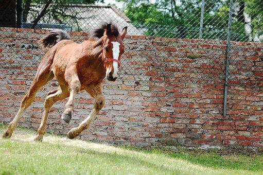 The Horse, Konik, Animal, Bay, Offspring, Silesian