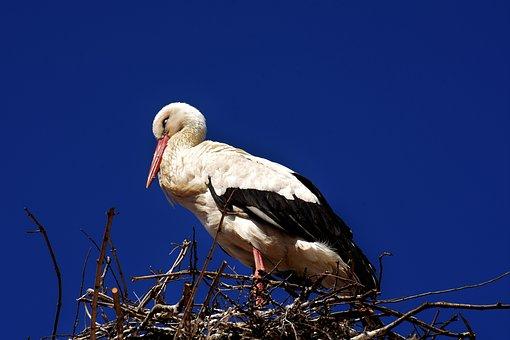 Stork, Sleep, Eyes Closed, Bird, White Stork, Plumage