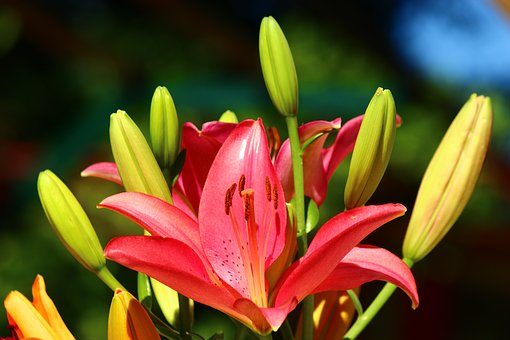 Fleur-de-lis, Lily Season, Red And Yellow Lilies