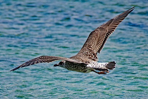Seagull, Larus Michahellis, Yellow-legged Gull