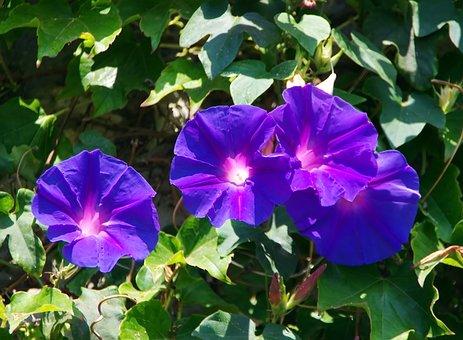 Volubilis, Convolvulacée, Blue Flower, Violet