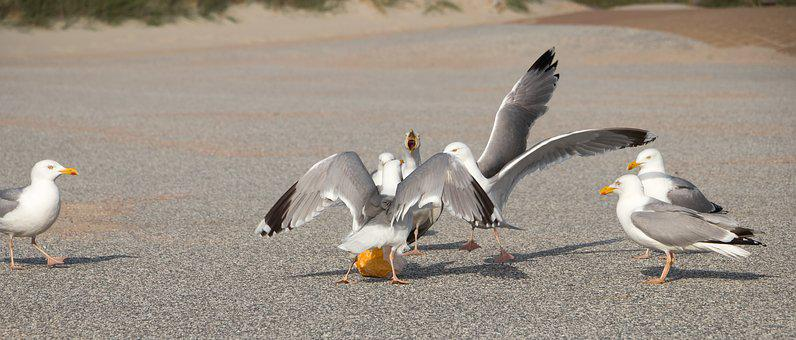 Seagulls, Dispute, Bread, Waterfowl, Animal World