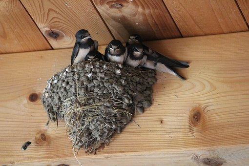 Barn Swallows, Mutterglück, Swallows