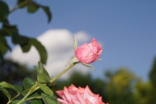 Rose, Blossom, Bloom, Close, Ramira, Climbing Rose