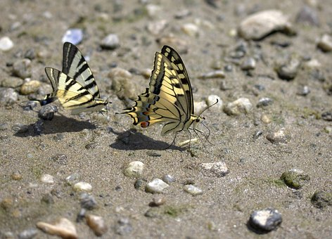 Butterfly, Dovetail, Drink, Insecta