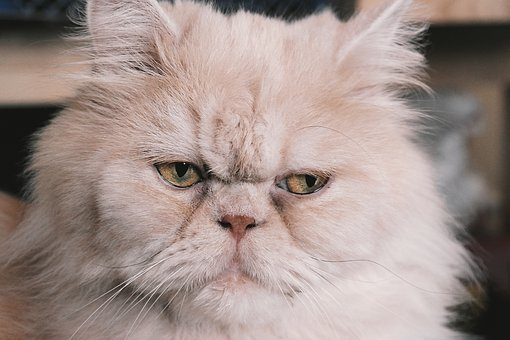 Persian Cat, Cat, Persians, Cat Portrait