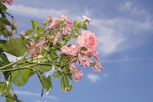 Rose, Blossom, Bloom, Close Up, Ramira, Climbing Rose