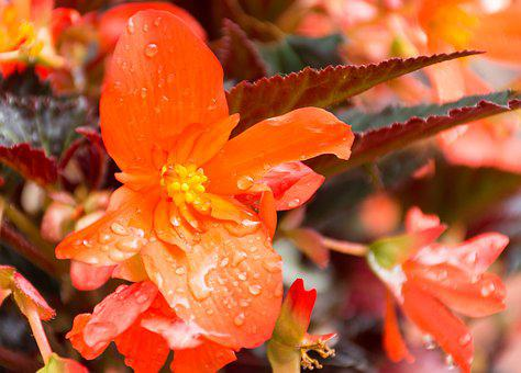 Unstoppable Upright Fire, Begonia, Flower, Bright