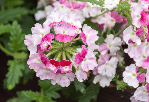 Verbena, Hybrid, Flower, Flowers, Primroses, Primrose